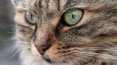 Gato Poder Animal Símbolo da totalidade, da independência, da curiosidade, de muitas vidas, da inteligência