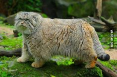 Pallas's cat. A wild cat native to the steppe regions of Central Asia .