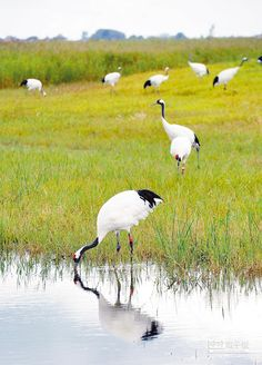 黑龍江扎龍國家級自然保護區內的丹頂鶴。(新華社)