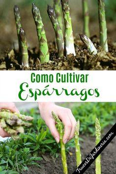 How to grow asparagus Eco Garden, Vegetable Garden Design, Tropical Garden, Garden Paths, Garden Landscaping, Rustic Backyard, Growing Seeds, Autumn Garden, Organic Farming