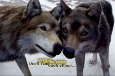 Wolfblood wolves, the end of season 3,  Rhydian and Maddy, back again