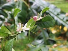 The magic of Neroli Essential Oil for skin and spirit.
