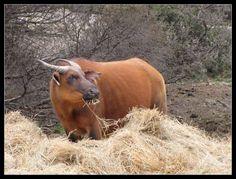 buffles nains de forêts - Afrique