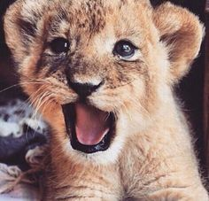 Image about love in Animals by ? on We Heart It : Baby lion Cute Funny Animals, Cute Baby Animals, Animals And Pets, Cute Cats, Beautiful Cats, Animals Beautiful, Beautiful Images, Tier Fotos, Cute Animal Pictures