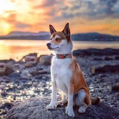 The Norwegian Lundehund: Your Complete Guide to America's Rarest Dog