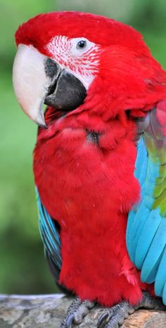 Blue wing macaw