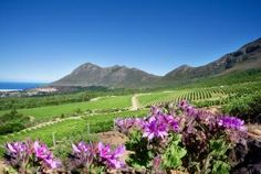 Cape Point vineyards with the Atlantic Ocean in the background, indigenous pelagoniums in the foreground Trip Planning, Planning Board, Most Beautiful Cities, Atlantic Ocean, Countries Of The World, Wine Country, Cape Town, South Africa, Vineyard