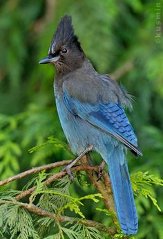Cyanocitta stelleri - modrosójka czarnogłowa - Steller's Jay