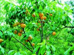 8022 manchurian apricot - T&T Seeds Ltd Apricot Tree, Apricot Seeds, Shade Trees, Prunus, Fruit Garden, Trees And Shrubs, Garden Supplies, Fruit Trees, Malaga