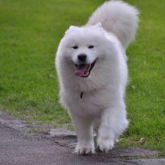 Samoyed - The smiling dog
