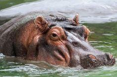 Hippo digitally drawn/traced in Adobe Photoshop using Wacom tablet.