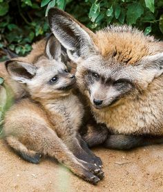 A long-eared fox puppy nuzzles against his father. Zoo Praha's pair of long-eared foxes gave birth to quadruplets this year!