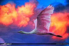 Spoonbill Flying Through Pink Sky by  Kim Seng