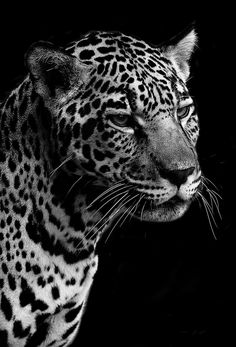 Jaguar Portrait by Brenden Scott - Fun fact: Jaguars are the largest cats in the Western Hemisphere and the third largest overall. Only lions and tigers are bigger.