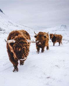 Photo by ✦ Highland cow Highland Cow Tattoo, Animals And Pets, Cute Animals, Farm Animals, Dairy Cattle, Highland Cattle, Cute Cows, Spirit Animal, Wildlife Photography