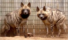MOVING A tight budget has led the Dickerson Park Zoo in Springfield, Mo., to find a new home for its two striped hyenas.           By HENRY FOUNTAIN    Published: March 17, 2009
