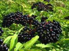 The Elderberry (Sambucus nigra) is a small tree growing to ft) high, bearing large bunches of edible flowers (raw/in drinks) and black fruits (raw or cooked). Elderberry Plant, Elderberry Benefits, Herbal Remedies, Natural Remedies, Flu Remedies, Cholesterol Diet, Cholesterol Symptoms, Reduce Cholesterol, Gardens