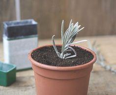Ako rozmnožiť levanduľu z odrezkov? Garden, Plants, Diy Garden, Sustainability, Lavender, Planters, Flora, Planter Pots
