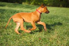The Rhodesian ridgeback was originally bred to hunt lions in South Africa. The ridgeback, as its name indicates, has a ridge of hair growing forward on its back. These dogs are reddish in color and love to spend time cuddled up with their owners. They can be strong-willed.