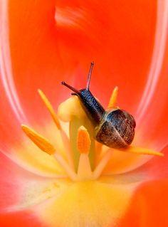 Escargot dans sa fleur