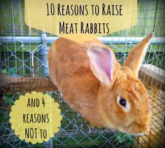 Raising rabbits for food may be difficult. Greneaux Gardens: 10 Reasons to Raise Meat Rabbits (and 4 Reasons Not to) Raising Rabbits For Meat, Raising Farm Animals, Raising Goats, Animals And Pets, Rabbit Farm, Rabbit Cages, Bunny Rabbit, Goat Care, Horse Care Tips