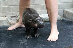 I could go for a baby hippo!