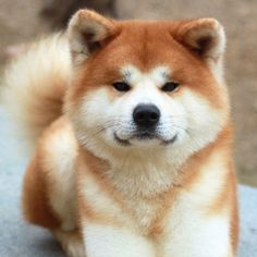 Large, powerful and alert, the Akita is a working breed that originated in Japan. The breed's thick double coat can be any color including white, brindle or pinto. An Akita trademark is the plush tail that curls over its back. Chien Akita Inu, Akita Inu Puppy, Shiba Inu, Pet Dogs, Dog Cat, Pets, Doggies, Weiner Dogs, Beautiful Dogs