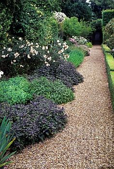 HERBACEOUS PERENNIAL BORDER OF SEDUM SP, SALVIA OFFICINALIS 'PURPUREA' , WHITE FLOWERING SHRUB ROSA SP (ROSE), BUXUS SEMPERVIRENS HEDGE & LONICERA SP CLIMBER. GRAVEL PATHWAYS. HILLBARN HOUSE, WILTSHIRE.