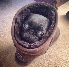 Pug in an Ugg looking snug.