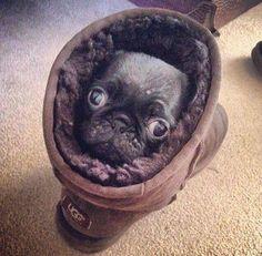 Pug in an Ugg looking snug.