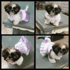 My mommy put me in my very first dress and I don't think I like it..it has me chasing my tail..literally. lol #PuppyLove #shihtzu #shihtzulove #polkadots #purpleismyfavoritecolor #cutie  #whosaysimadog #LadyLiberty
