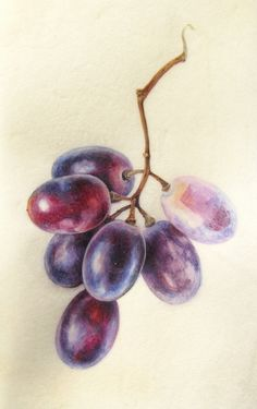 Botanical Sketches and Other Stories: Exciting Times! Botanical Sketches and Other Stories: Exciting Times! L'art Du Fruit, Fruit Art, Watercolor Fruit, Fruit Painting, Watercolor Pencil Art, Botanical Drawings, Botanical Art, Botanical Gardens, Grape Drawing