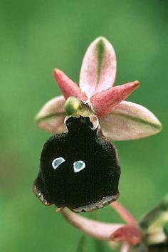 Uma miniatura de tamanho crescente orquídea terrestre médio, fria que se encontra no Mar Egeu, a Albânia, em Creta, Grécia e Turquia ocidental