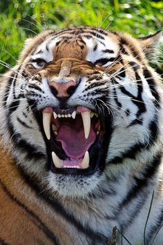 Watch out. I've had the opportunity to be less than three feet away from a yawning tiger with only two chainlink fences between us. Those teeth are enormous! Animals And Pets, Funny Animals, Cute Animals, Wild Animals, Baby Animals, Beautiful Cats, Animals Beautiful, Beautiful Teeth, Big Cats