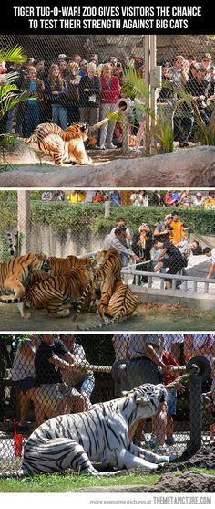 Tiger tug-o-war…just pure awesome~ I need to know what zoo this is, and go to there.