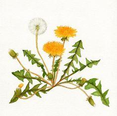 Wildflowers in Korea – Flowers Flowers Vintage Botanical Prints, Botanical Drawings, Botanical Art, Dandelion Drawing, Dandelion Flower, Illustration Blume, Illustration Artists, Watercolor Flowers, Watercolor Paintings