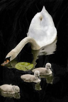Precious Swan family snacking during a swim.