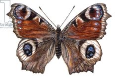 Peacock Butterfly, 2005 (w/c on paper), Pedder-Smith, Rachel / Private Collection / Bridgeman Images