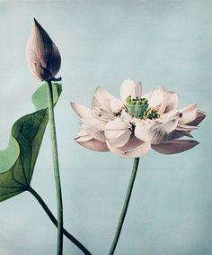 Beautiful photomechanical prints of Lotus Flowers by Ogawa Kazumasa. Original from The Rijksmuseum. Digitally enhanced by rawpixel. Japanese Lotus, Japanese Flowers, Japanese Art, Yellow Chrysanthemum, Getty Museum, Purple Iris, Public Domain, Free Illustrations, William Morris