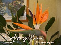 Paradiesvogelblume, Strelitzia reginae