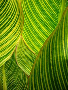 Green and Yellow Patterns in Nature - dwarf canna lily by *omnia*, via Flickr