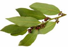 Bay tree is a native to Caribbean Islands from where it is believed to have spread to other parts of the world. Bay held an important place in the Ancient Rome and Greece, both in their religion, culture and in their medicines. The health benefits of Bay Essential Oil can be attributed to its properties like anti septic, anti biotic, anti neuralgic, anti spasmodic, analgesic, aperitif, astringent, cholagogue, emenagogue, febrifuge, insecticide, sedative, stomachic, sudorific and tonic.
