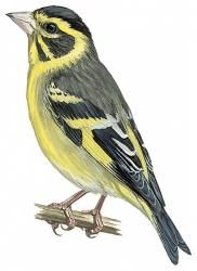 Yellow-breasted Greenfinch (Carduelis spinoides)
