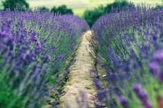 https://flic.kr/p/zs2m1h   path, for lavender lovers   Isabelle Boulay - Parle moi