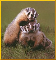 Baby Badger and Momma Badger