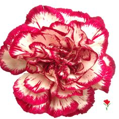 Bicolor Purple Carnation from Flores Funza. Variety: Noblesse. Availability: Year-round.