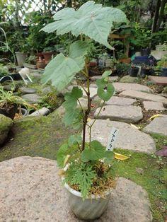ノブドウ   (omagaの庭で)