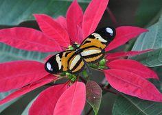 Heliconius ethilla narçaea | Tudo Sobre Borboletas