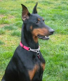 Meet Caesar a Petfinder adoptable Doberman Pinscher Dog | Arlington, VA | Caesar is a handsome black/rust male Doberman. He is approximately a year old and has cropped ears...