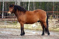 Gotland Pony - gelding Cupido